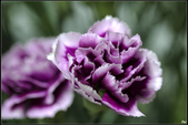紫色:_MG_3197.jpg