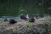 關渡自然公園:_MG_4487-1.jpg