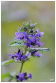 紫色:香苦菜_MG_5570.jpg