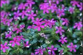 紫色:IMG_1406迷你日日春.jpg