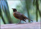 鳥集*:_MG_1288赤腹鶇.jpg