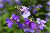 紫色:紫花菜IMG_0760.jpg