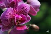 蘭花:_MG_4349.jpg