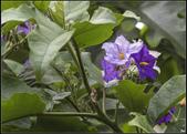紫色:_MG_2812大花茄.jpg