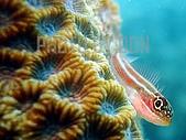 PHOTO BY DON:縱帶彎線鳚_三鰭鳚_魚眼睛看對焦燈