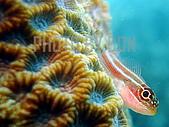 PHOTO BY DON:縱帶彎線鳚_三鰭鳚_魚眼睛看鏡頭