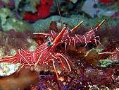 春潛:山海 清潔蝦.JPG