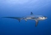 馬爾地夫 :長尾鯊.jpg