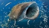 馬爾地夫 :鯨鯊.jpeg