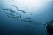 馬爾地夫 :鎚頭鯊3.jpg