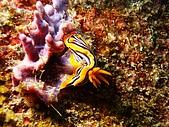 PHOTO BY DON:990111海蛞蝓.JPG