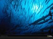 馬爾地夫 :梭魚.jpg