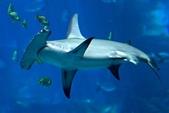 馬爾地夫 :鎚頭鯊.jpg
