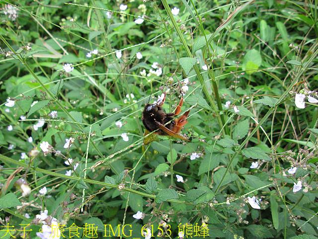 IMG_6153 熊蜂.jpg - 陽明山國家公園 面天山 - 向天山步道 向天池、向天山、面天山 20200916