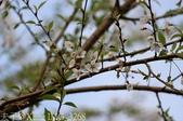 武界櫻花:霧社櫻、福爾摩沙櫻、 富士櫻、香水櫻 20150221:IMG_3268 霧社櫻.jpg