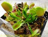 爬行動物捕蠅草 Dionaea Reptile 20181119:爬行動物捕蠅草 51736.jpg