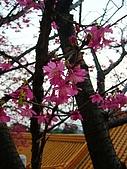 桃園市虎頭山櫻花開了 2010/01/31:P1000200-1.jpg