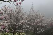 淡水楓樹湖古道木蘭花辛夷 20150225 :IMG_4096.jpg