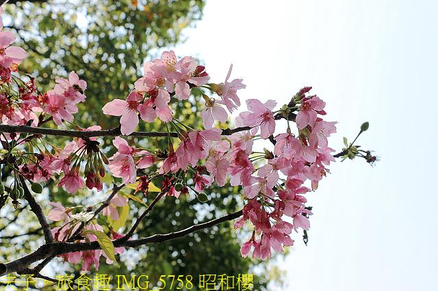 IMG_5758 昭和櫻.jpg - 桃園龍潭大池 20210310