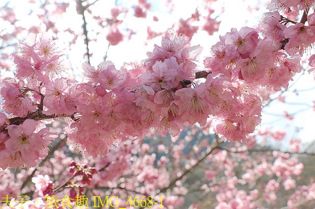 2021年 武陵農場 山櫻花、紅粉佳人 繽紛綻放 20210214:IMG_4668-1.jpg