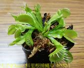 科里根捕蠅草  Dionaea Korrigans 20181112:科里根捕蠅草 48552-1.jpg