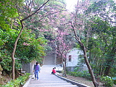 桃園市虎頭山櫻花開了 2010/01/31:P1000183.JPG