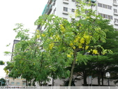 阿勃勒-桃園市寶山公園 2010/06/29:P1080400.JPG