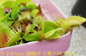 捕蠅草 災難大師 Dionaea Master of Disaster 20181128 :捕蠅草 災難大師 57076-1.jpg