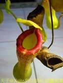 食蟲植物 勞氏 x 葫蘆 豬籠草:P1070846 葫蘆豬籠草 .jpg