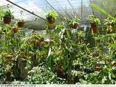 食蟲植物-宜蘭波的農場 2010/08/26:P1090344.JPG