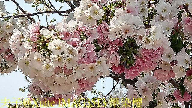 三峽熊空櫻花林 2017/03/24:IMAG3513 墨染櫻.jpg