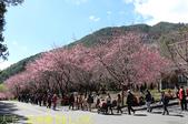 2021年 武陵農場 山櫻花、紅粉佳人 繽紛綻放 20210214:IMG_4396.jpg