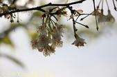 武界櫻花:霧社櫻、福爾摩沙櫻、 富士櫻、香水櫻 20150221:IMG_3317 福爾摩沙櫻.jpg