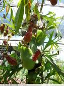 食蟲植物-宜蘭波的農場 2010/08/26:P1090341.JPG