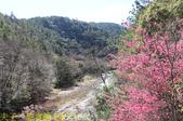 2021年 武陵農場 山櫻花、紅粉佳人 繽紛綻放 20210214:IMG_4334.jpg