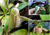 食蟲植物:出藝 Nepenthes ampullaria variegated 豬籠草.jpg