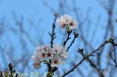 新北市三芝群櫻紛飛漫步行 - 三生步道 20140228 :IMG_8786.jpg