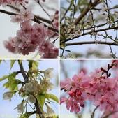 武界櫻花:霧社櫻、福爾摩沙櫻、 富士櫻、香水櫻 20150221:相簿封面