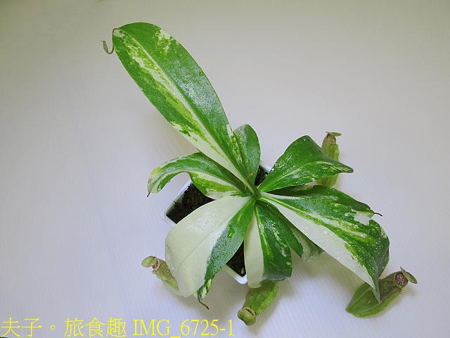 IMG_6725-1.jpg - 食蟲植物 葫蘆x勞氏x窄葉 豬籠草 20210212
