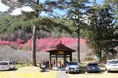 2021年 武陵農場 山櫻花、紅粉佳人 繽紛綻放 20210214:IMG_4602.jpg