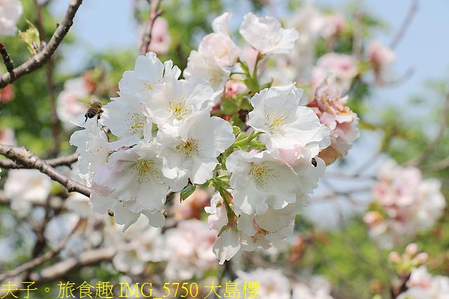 IMG_5750 大島櫻.jpg - 桃園龍潭大池 20210310