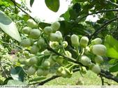我每年中秋吃柚子, 柚子花第一次看:P1020328.JPG