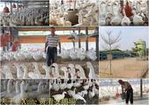 台南白河黃清安鵝場 非開放式或密閉式禽舍 20161014:黃清安鵝場.jpg