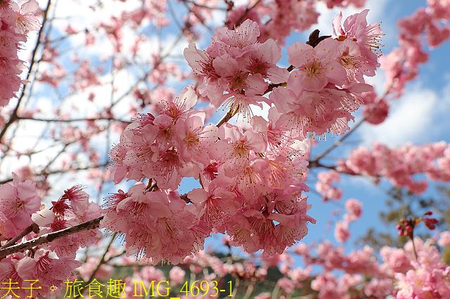 2021年 武陵農場 山櫻花、紅粉佳人 繽紛綻放 20210214:IMG_4693-1.jpg