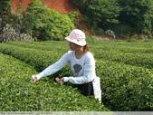 東方美人, 上天巧妙安排的神奇美味-首部曲, 採茶:P1030077.JPG