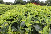 寶山拿普原生茶有機茶園  20201017:IMG_1988.jpg