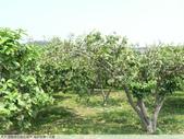 我每年中秋吃柚子, 柚子花第一次看:P1020315.JPG
