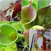 食蟲植物:紫黑小太陽 太陽瓶 花-640x640.jpg