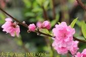 老泉街杏花林 (碧桃花) 2018/03/05:IMG_9065.jpg