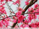 桃園虎頭山桃園高中櫻花開了! 2012/02/06:P1050025.jpg